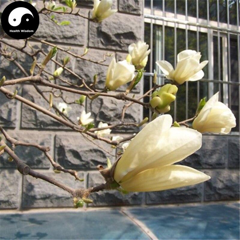 Acquistare Beni Michelia Champaca Albero Di Magnolia Grandiflora Semente 120 Pz Pianta Giallo Crescere Dolce Huang Yu Lan Rinvigorire Efficacemente La Salute