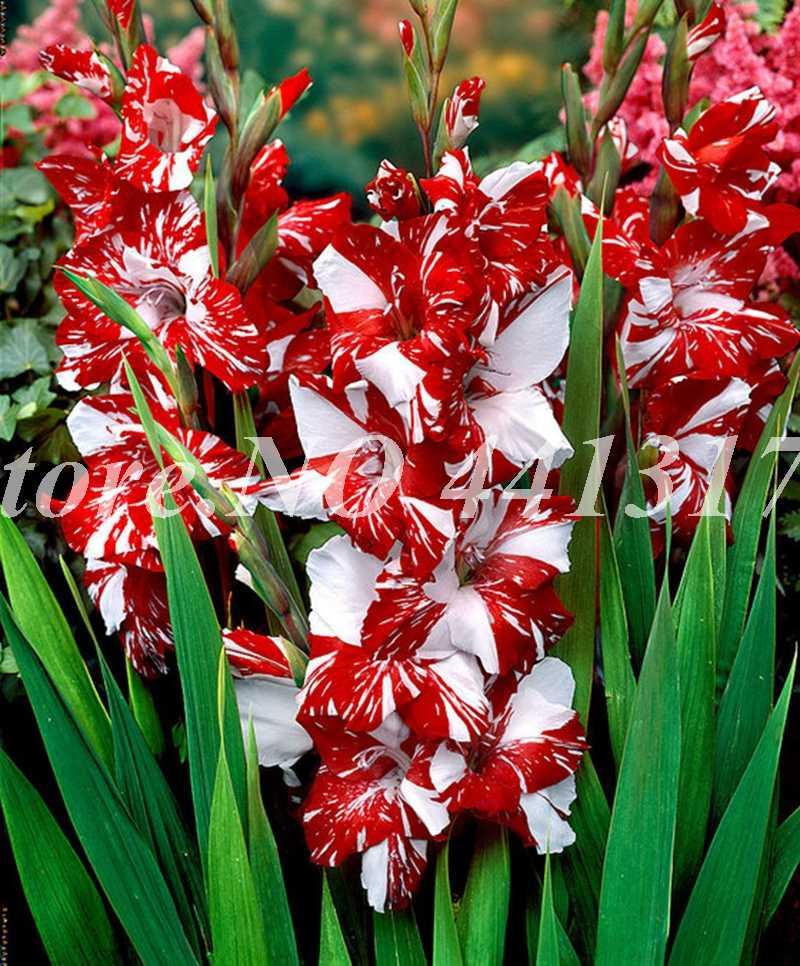Шт. 100 шт. полосатый гладиолус бонсай многолетний гладиолус сад завод цветок орхидеи Gladiolus карликовые деревья Gandavensis высокая скорость выживания
