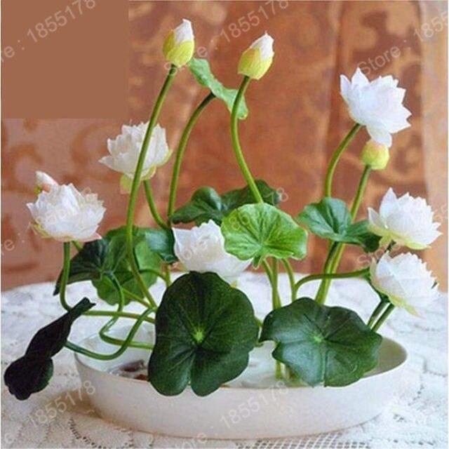 Chinois mini lotus Graines de fleurs rares vrai Bonsaï fleur couleurs  mélangées diy Maison et Jardin de fleurs vivaces Graines 5 pcs/sac