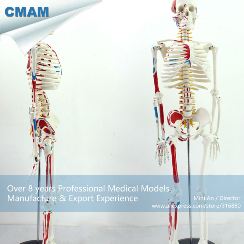 12364 CMAM-SKELETON04 85cm Skeleton Model with Muscle Painted for Medical Science, Best Gift for Orthopaedist cmam nasal01 section anatomy human nasal cavity model in 3 parts medical science educational teaching anatomical models