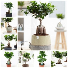 Chinese Rare Ficus Microcarpa Tree 50 Pcs Evergreen Bonsai Potted Ginseng Banyan Home Garden Outdoor Planting Easy to Grow