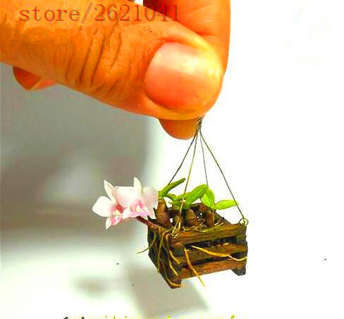 100 pcs seeds mini bonsai orchid seeds indoor home What are miniature plants grown in pots called