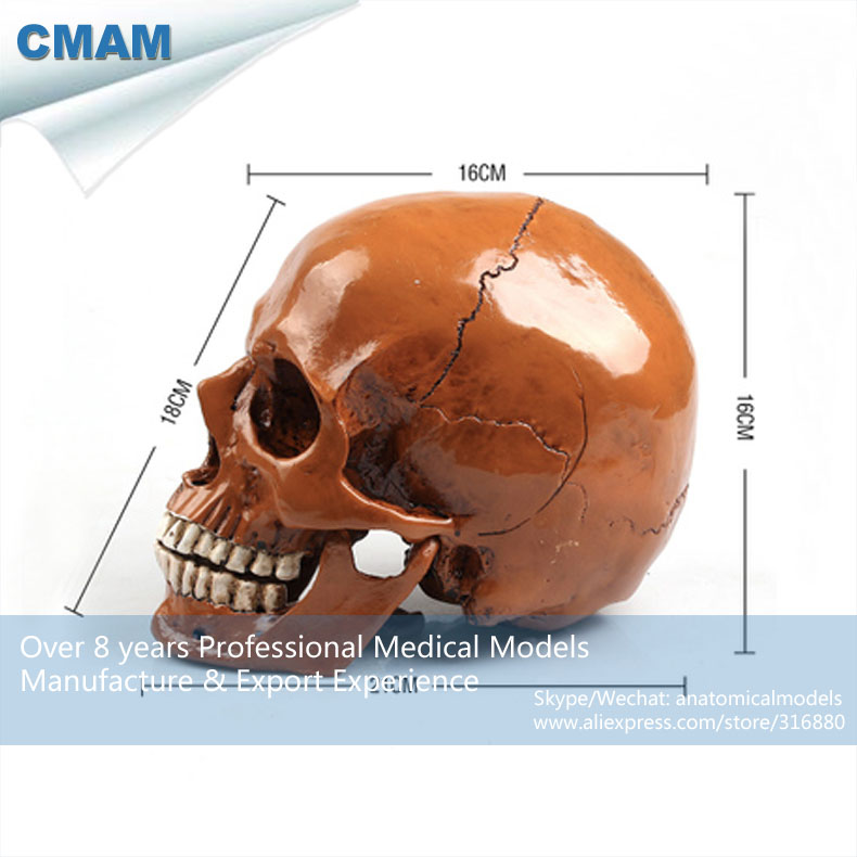 CMAM PRC58 Antiqued Brown Life sized PVC Colored Skull Anatomy