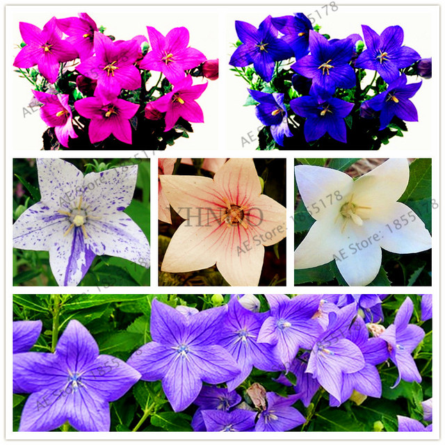 New arrival!Campanulaceae flower Bonsai,perennial potted garden home plants,indoor and outdoor use easy to plant 100pcs/bags
