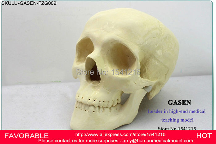 TEACHING PHYSICS PLASTIC SURGERY ORTHOPEDICS SURGICAL DEMONSTRATION MODEL SKULL NEUROLOGY CRANIOPLASTY SKULL MODEL GASEN-FZG009 physics education