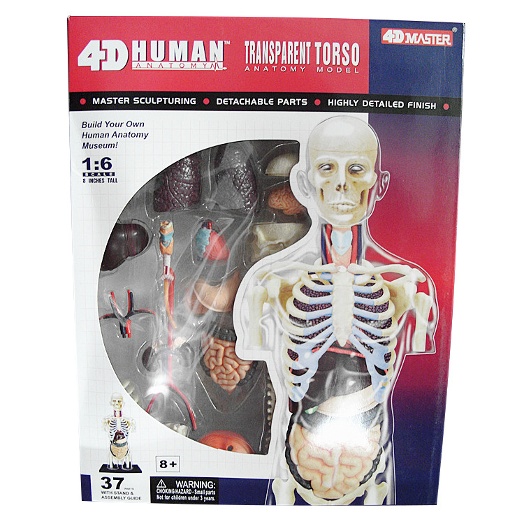 Educational Assembled 4d Human Body transparent Anatomy Skull ...
