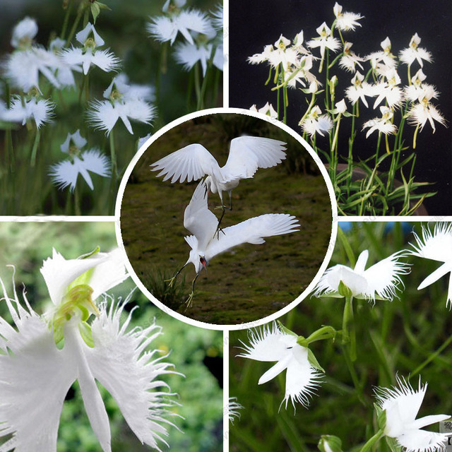 HOT SALE World s Rare Flowers Japanese Radiata Seeds For Garden     HOT SALE World s Rare Flowers Japanese Radiata Seeds For Garden   Home  Planting White Egret Flower