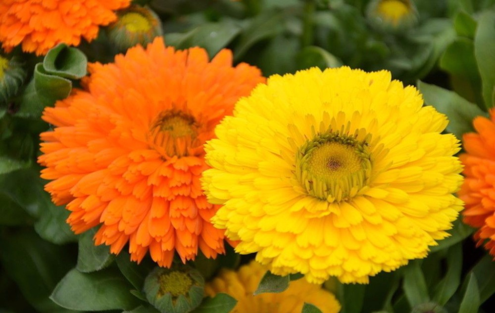 ZLKING 100 Rare Calendula Flower Seeds Edible Flowers Seeds For Your Home Garden Plant