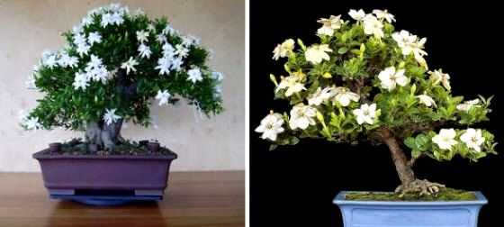 10 pcspack jasmine seeds bonsai seeds white flowers tree in pots for the house