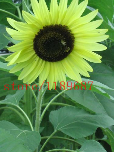 1bagu003d40 Pcs Mini Sunflower Seeds Mini Bonsai Dwarf Sunflower Seeds  Sunflower Series Height 40cm Flower Seeds