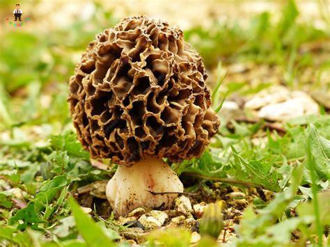100Pcs Delicious Giant Mushroom Bonsai Organic Green Food Funny Succulent Plant Edible Healthy Vegetable Plant For Happy Farm