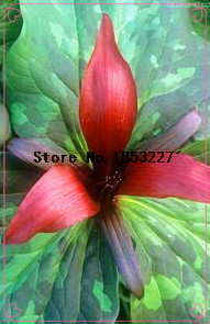 Buy trillium plants and get free shipping on aliexpress mightylinksfo