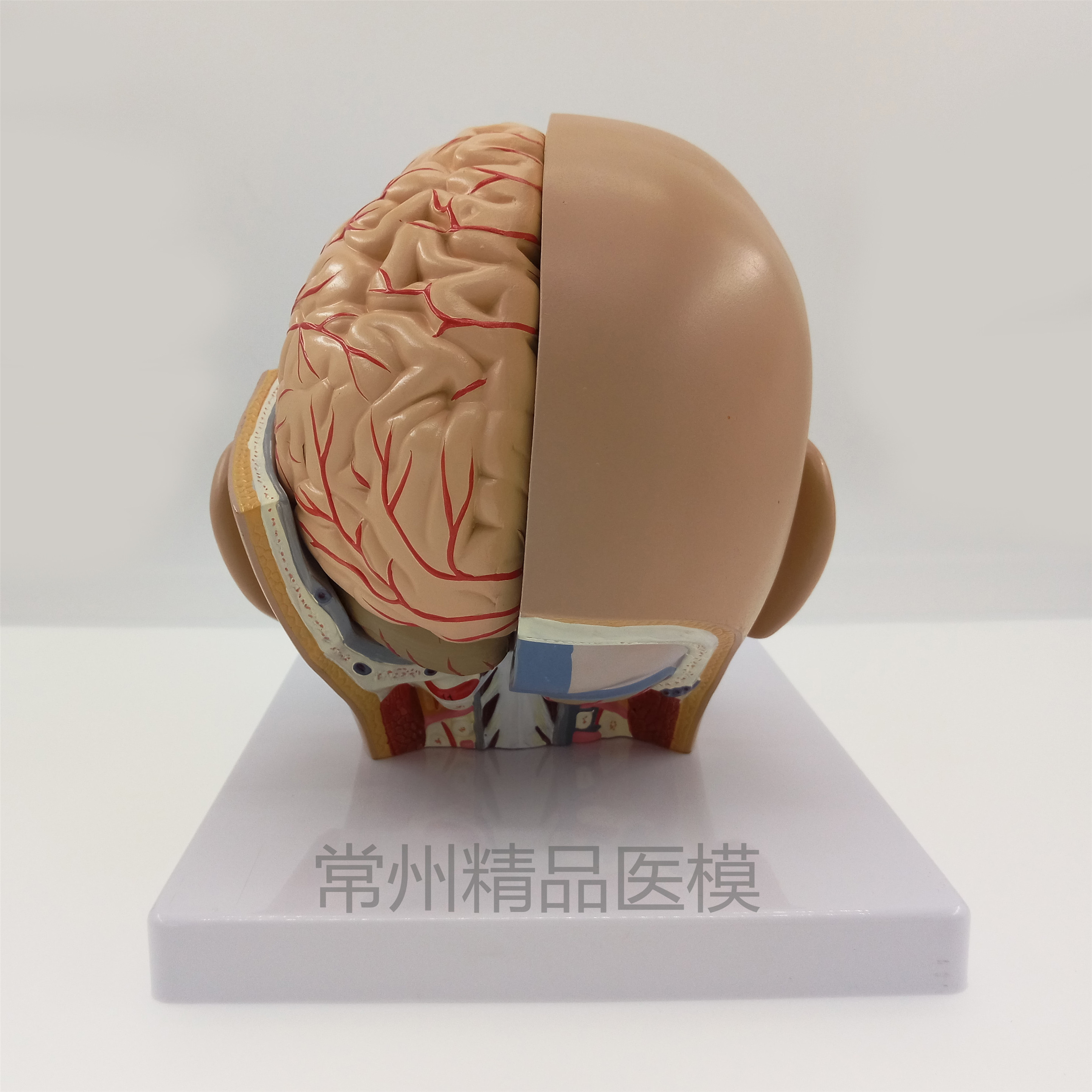 Teaching model head anatomical model natural size 4 parts brain ...