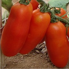 Bunches of bananas Hot Tomato 200pcs  organic vegetable