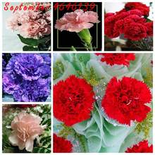 100 Pcs/Pack Rare Carnations Bonsai Flowers Bonsai Dianthus Caryophyllus Flowers Bonsai For Home Garden Planting Mom Gift(China)