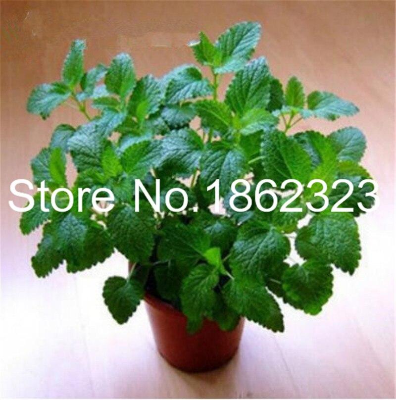 100 Partikler Stevia Bonsai Stevia Urter Bonsai Grønne Urter Stevia Rebadiana Semilla til Havearbejde Kinesiske Bonsai Urter