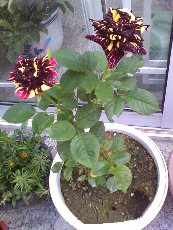 100 pcs/bag rare potted rose seeds, home garden plant beautiful flower seeds, raibow rose Multi-colored plants bonsai seeds