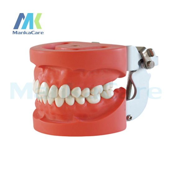 Manka Care - Standard Model/28 pcs Tooth/Hard Gum/screw fixed/FE Articulator Oral Model Teeth Tooth Model promotion 24 pcs soft gum standard dental child model teeth fe articulator doctor teeth model a3