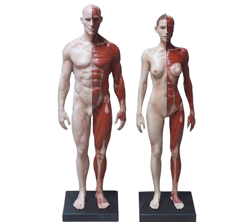 30 cm mannelijke/vrouwelijke menselijk lichaam anatomisch model CG ...