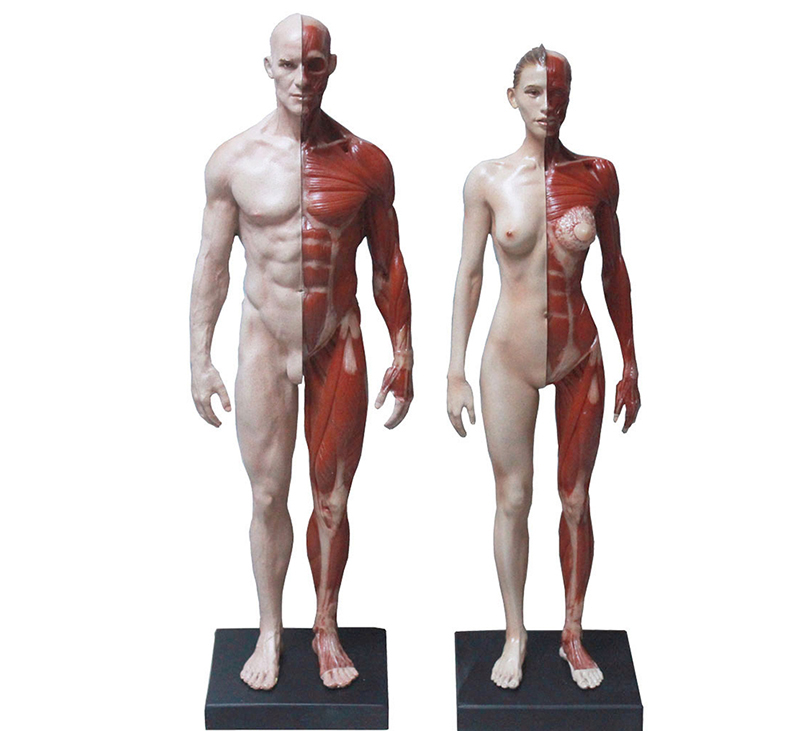 30cm male /female human body anatomical model CG Reference muscul ...