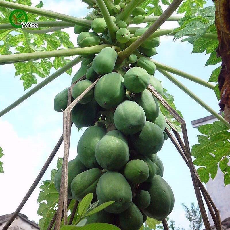 online kaufen gro handel pflanzen papaya b ume aus china. Black Bedroom Furniture Sets. Home Design Ideas