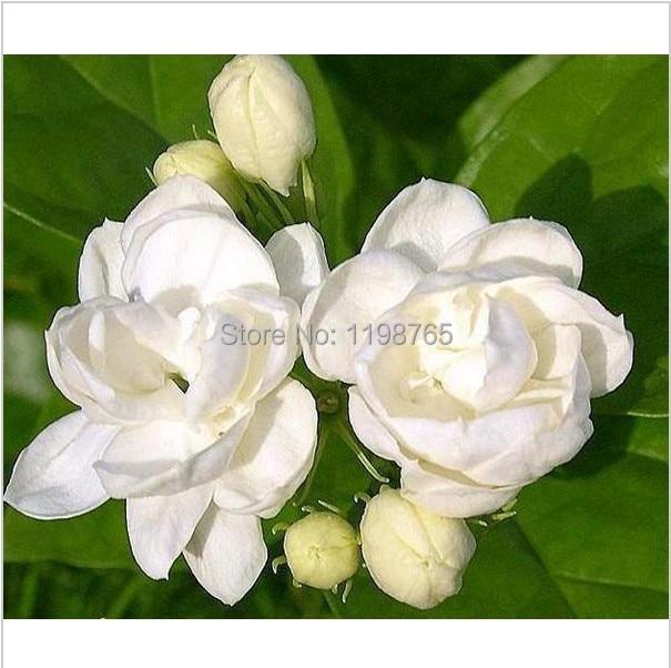 100 Seeds White Jasmines Sweet Soul Jasmine Bonsai Plants For Home