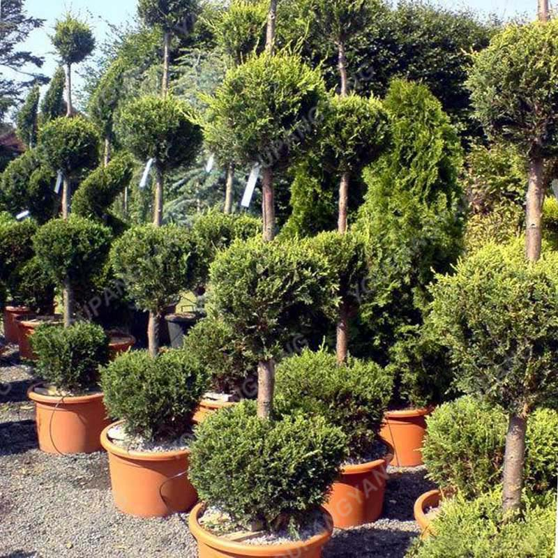 100pcs Blue Cypress Trees plants Rare Platycladus Orientalis Oriental Arborvitae plants Conifer plants DIY Home Garden - 3326-4ceb32.jpg