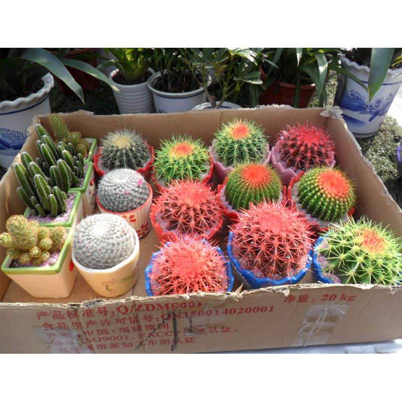 Celestial being cactus potted plant family anti-radiation Professional packaging 300 /pack