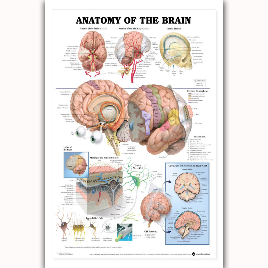 Original watercolor Brain poster print canvas painting Anatomy ...