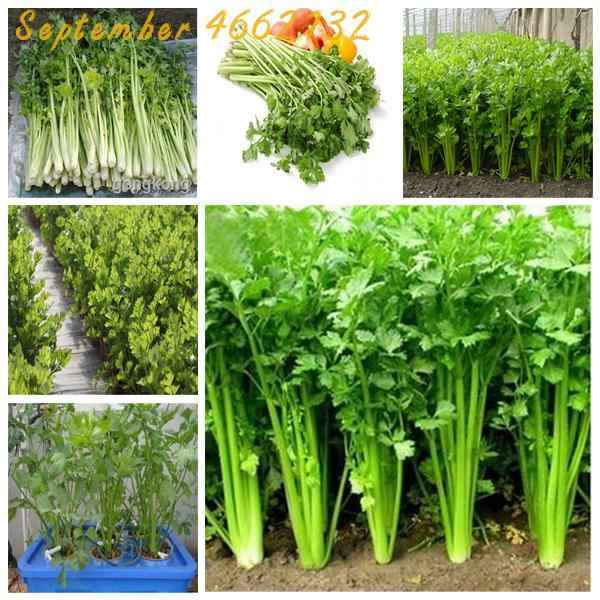 High quality 500 PCS Parsley bonsai Concentrated Flavor And Tender Crisp Celery plant small home garden cultivation