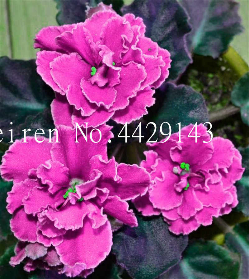 100 ชิ้น Mini สีม่วง Bonsai ดอกไม้สีม่วงสวนพืชดอกไม้สีม่วงสมุนไพรยืนต้น Matthiola Incana บ้านสวน