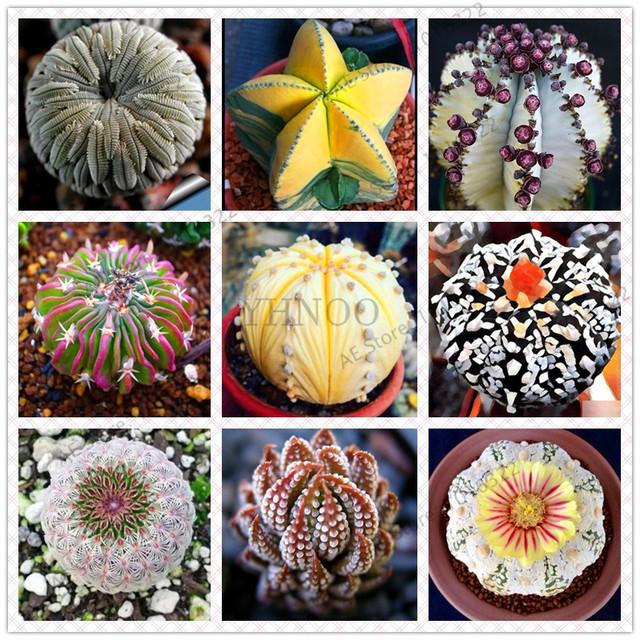Astrophytum Cactus Flores Succulent Seeds (100 Pieces)