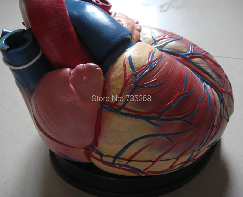 Heart Amplification Model,Human Heart Anatomy Model ...