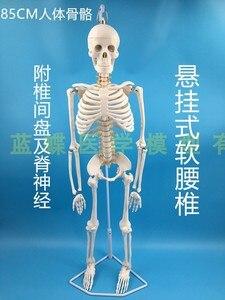 Image 3 - 85 سنتيمتر قالب هيكل عظمي نموذج الإنسان مع العضلات العمود الفقري نظام العصب التدريس الطبي معدات تعليمية هيكل عظمي نموذج تشريح