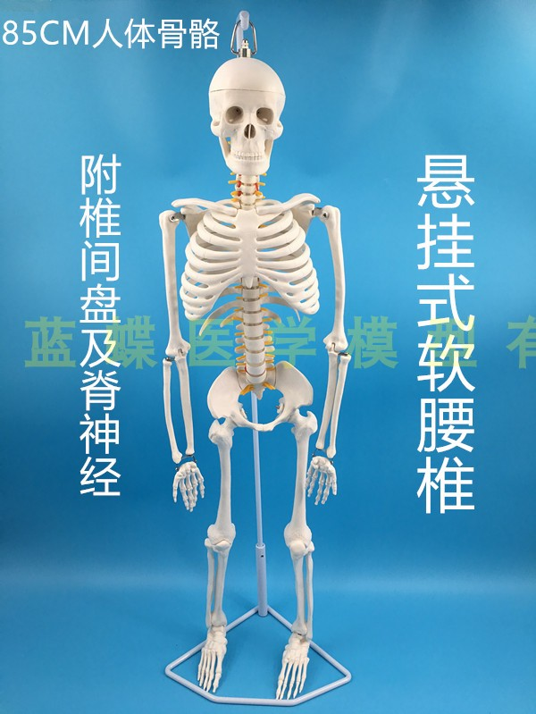 Image 3 - 85cm skeleton model human model with muscle spine nerve system 