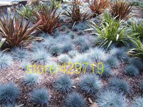 100 pcs fescue grass seeds festuca glauca perennial for Hardy perennial ornamental grasses