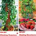 100 восхождение Семена томатов tree и 300 качество восхождение клубника семена, фруктовые и овощные семена для дома сад plantiing