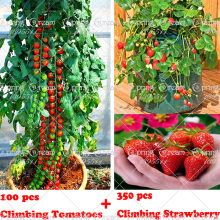 100 climbing tomato tree Seeds and  300 quality climbing strawberry seeds, fruit and vegetable seeds for home garden plantiing