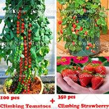 Plantiing strawberry tomato seeds, vegetable climbing tree fruit garden seeds home