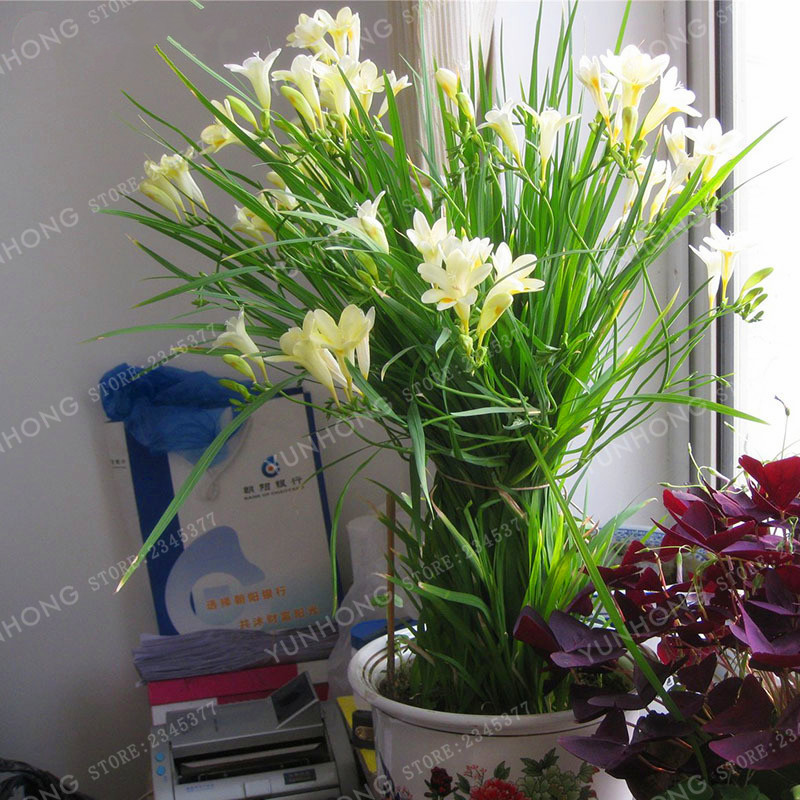 True Yellow Freesia Bulbs Indoor Potted Flowers Orchids,(It Is Not ...