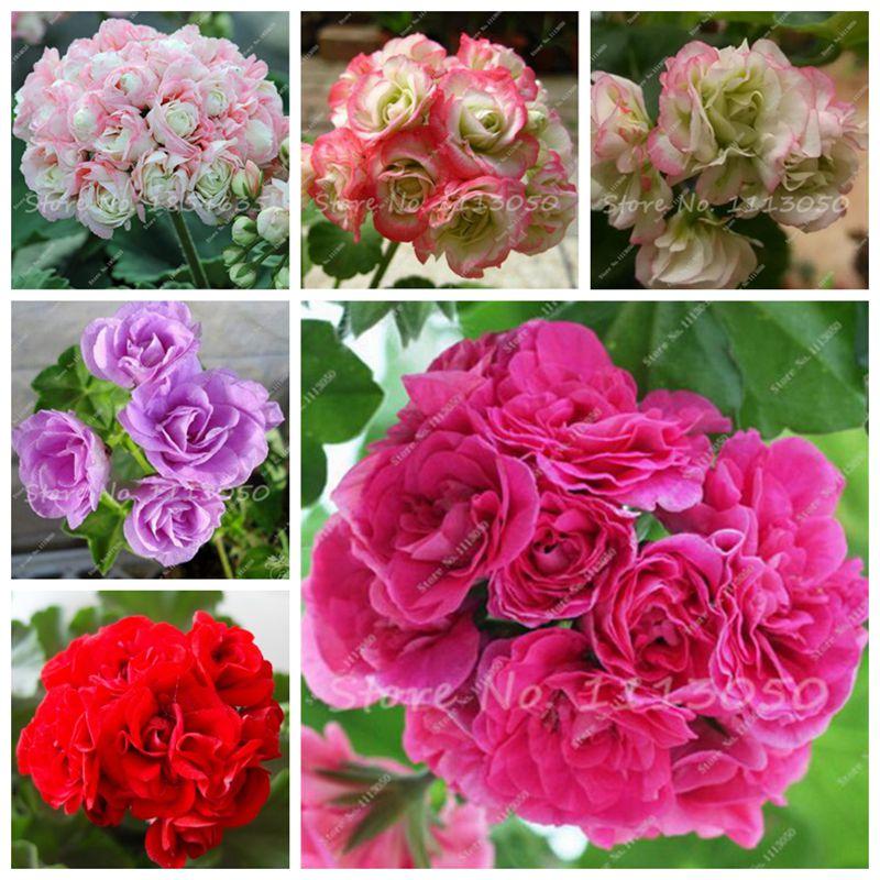 unids geranio semillas de flor de geranio pelargonium plantas perennes flores decoracin del jardn bonsai