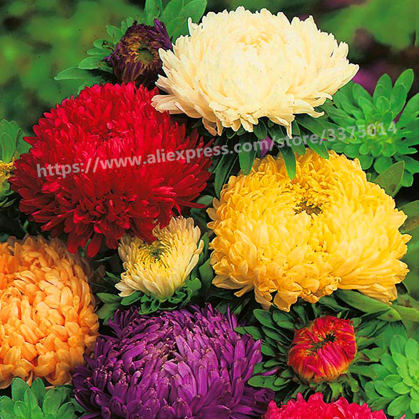 100 pcs/bag aster seeds aster bonsai flower seeds mix rainbow chrysanthemum seeds Perennial flowers home garden plant