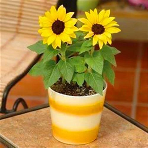 50 Dwarf Sunflower Bonsai Seeds, Indoor & Outdoor Dwarf Mini Sunflower seeds, Balcony Mini Plant