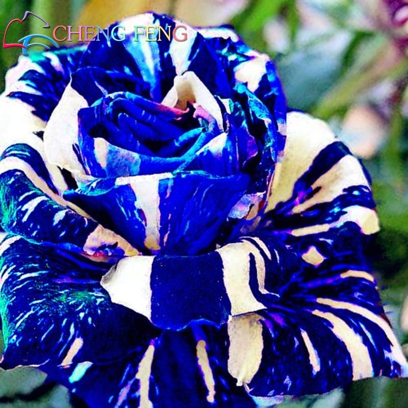 синие розы растений
