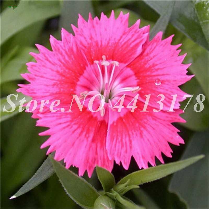 100 Exotic pçs/saco Dianthus Caryophyllus Cravo Flores de Flor Varanda Vasos de Plantas Jardim Perene Planta Purificar O Ar
