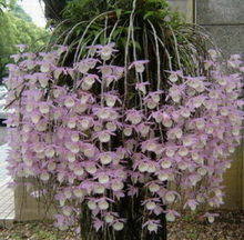 Free shipping .100 pcs / bag, Dendrobium seeds, potted seed, flower seed, variety complete, the budding rate 95%, (Mixed colors)