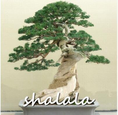 100 можжевельник бонсай дерево горшечные цветы офис бонсай очистить воздух впитывают вредных газов бесплатная доставка