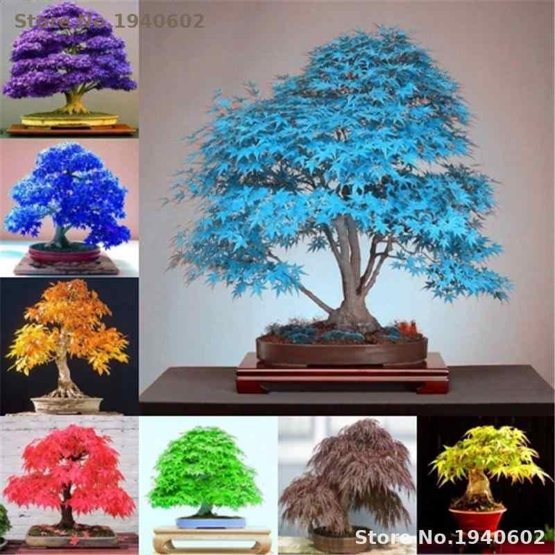 20 шт. редкий фиолетовый синий Призрак ЯПОНСКИЙ клен дерево, (acer Palatum), бонсай цветок дерево растение для цветы для дома и сада заземления