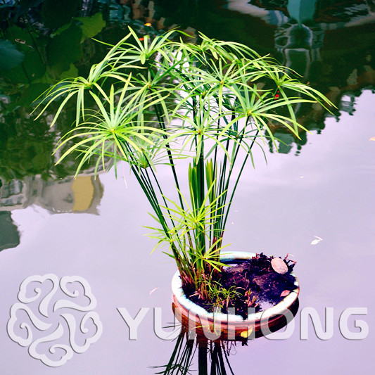50pcs Cyperus Alternifolius Bonsai Water Aquatic Pltion! Bonsai Plant Home Beauty Hydroponics Plant Bonsai Free Shipping