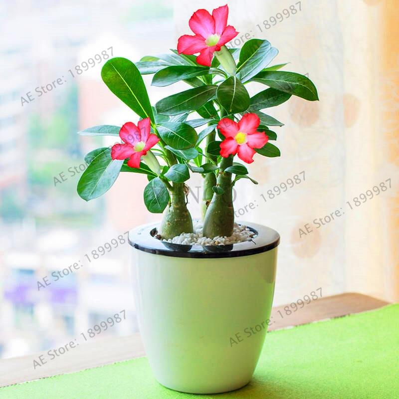 Пустыня Роза Флорес горшечные цветы plantas адениум тучный Крытый Бонсай завод мини Горшечное дерево для дома сад завод 5 шт.